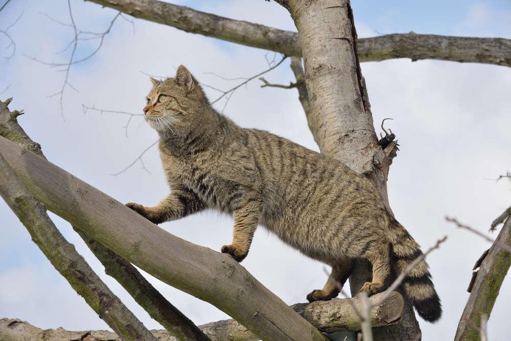 Wildkatze (Foto: Thomas Stephan / BUND)