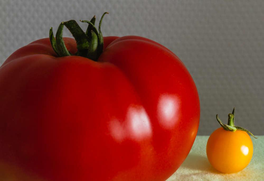 Tomate (Foto: Friedrich Haag)