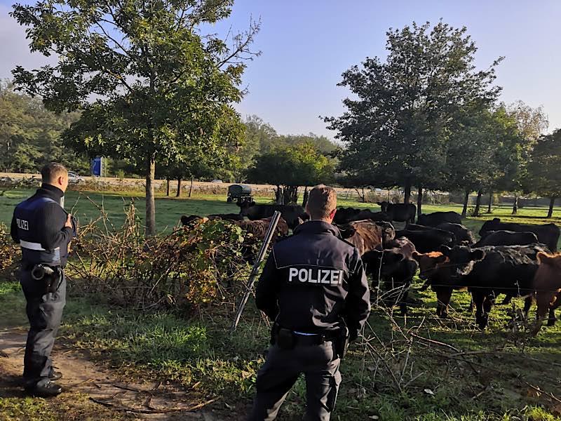 Kühe im Gehege neben der Autobahn (Foto: Polizei RLP)