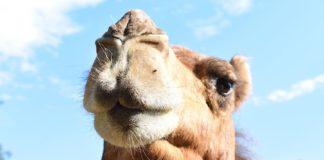 Dromedar (Foto: Zoo Landau)