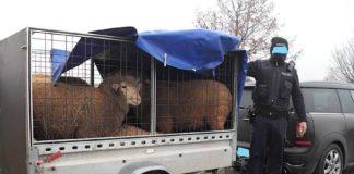 Der Anhänger mit fünf Schafen (Foto: Polizei RLP)