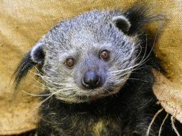 Noch auf der Suche nach einem Tierpaten: Binturong im Zoo Heidelberg. (Foto: Heidrun Knigge/Zoo Heidelberg)