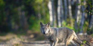 Wolf auf Weg (Foto: NABU/Kathleen Gerber)