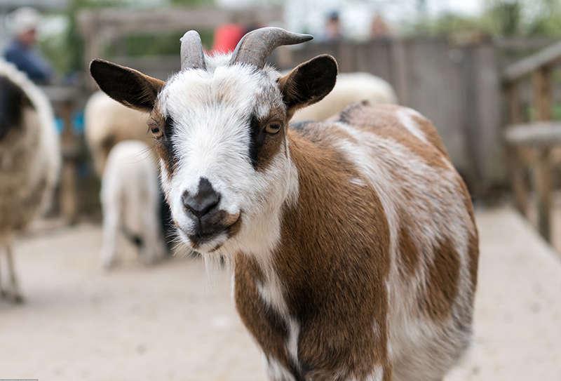 Besucher können im neuen Streichelzoo den Ziegen und Schafen auch weiterhin in einem Kontaktgehege ganz nahekommen. (Foto: Peter Bastian/Zoo Heidelberg)