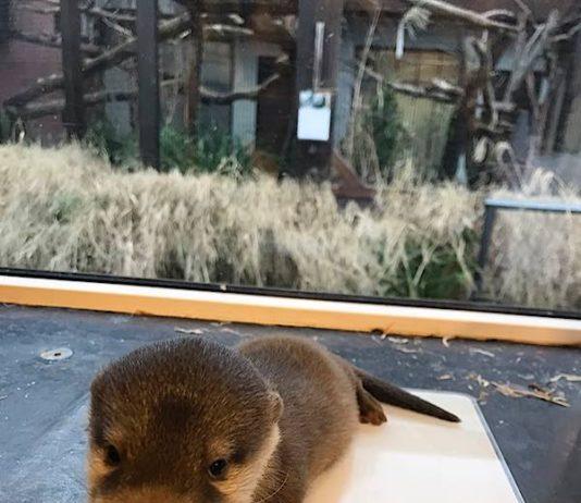 Alles gesund: Bei der ersten tierärztlichen Untersuchung wurde ebenfalls das Geschlecht der drei Otter-Welpen festgestellt. Es sind zwei Männchen und ein Weibchen. (Foto: Zoo Heidelberg)