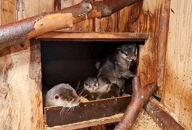 Der Nachwuchs bei den Asiatischen Kurzkrallenottern im Zoo Heidelberg entwickelt sich gut. (Foto: Zoo Heidelberg)