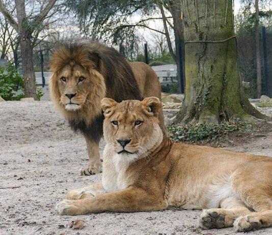 Die Berberlöwen Binta und Chalid erwarten die Besucher. (Foto: Zoo Heidelberg)