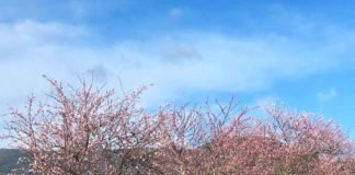 Mandelbäume (Foto: Rathaus Edenkoben)