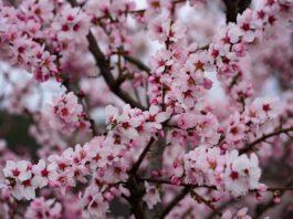 Mandelblüten am 28.03.2021 (Foto: Holger Knecht)