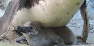 Pinguin-Küken im Nest (Foto: Zoo Landau)