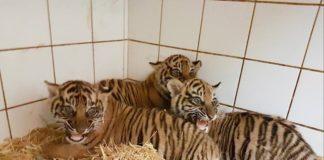 Die drei kleinen Sumatra-Tiger im Zoo Heidelberg entwickeln sich gut. (Foto: Zoo Heidelberg)