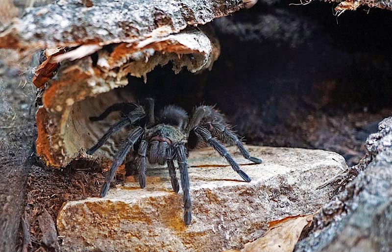Spinnen faszinieren und beängstigen: peruanische Samtvogelspinne (Foto: Katharina Schneeberg)