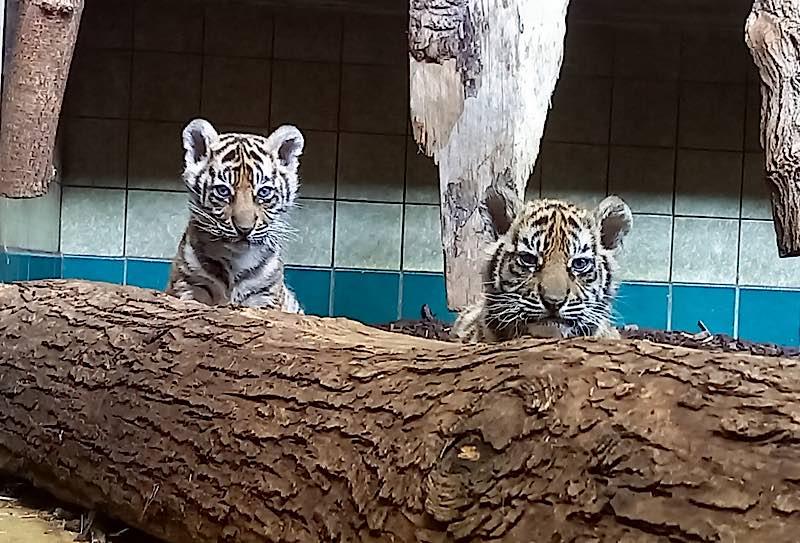 Die erste tierärztliche Untersuchung ist für die drei kleinen Tiger sehr aufregend. (Foto: Zoo Heidelberg)