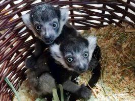 Zwei Gürtelvaris kamen Mitte April im Zoo Heidelberg zur Welt und entwickeln sich prächtig. (Foto: Zoo Heidelberg)