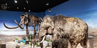 """Blick in die Ausstellung """"Eiszeit-Safari"""" (Quelle: rem, Foto: Rebecca Kind)"""