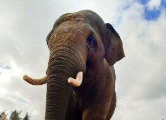 Der Asiatische Elefant Namsai wird im Mai in den Zoo Heidelberg einziehen (Foto: Zoo Kolmarden)