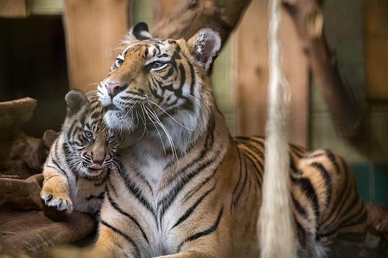 Tigerin Karis mit einem ihrer drei Jungtiere, das sich eng an die Mutter schmiegt. (Foto: Susi Fischer/Zoo Heidelberg)