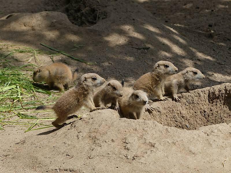 Im Jahr 2017 gab es sogar neunfachen Nachwuchs. (Archivfoto: Petra Medan/Zoo Heidelberg)
