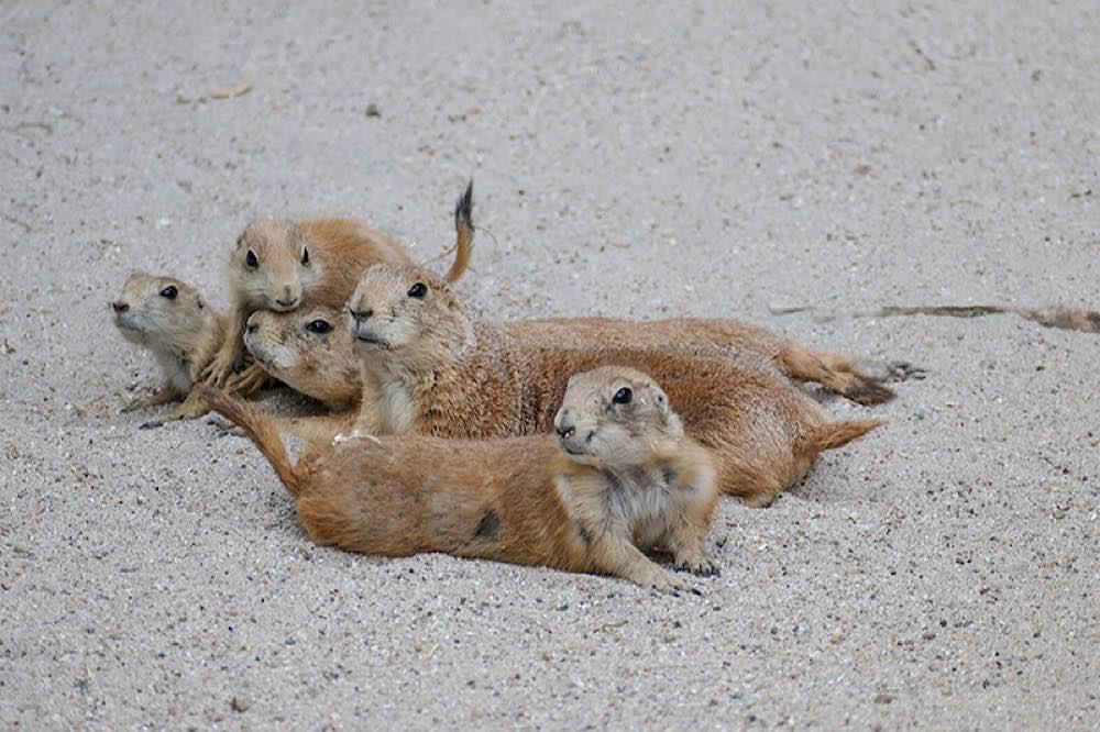 Gemeinsames Faulenzen: Die Kleinen lernen von den Großen. (Archivfoto: Heidrun Knigge/Zoo Heidelberg)