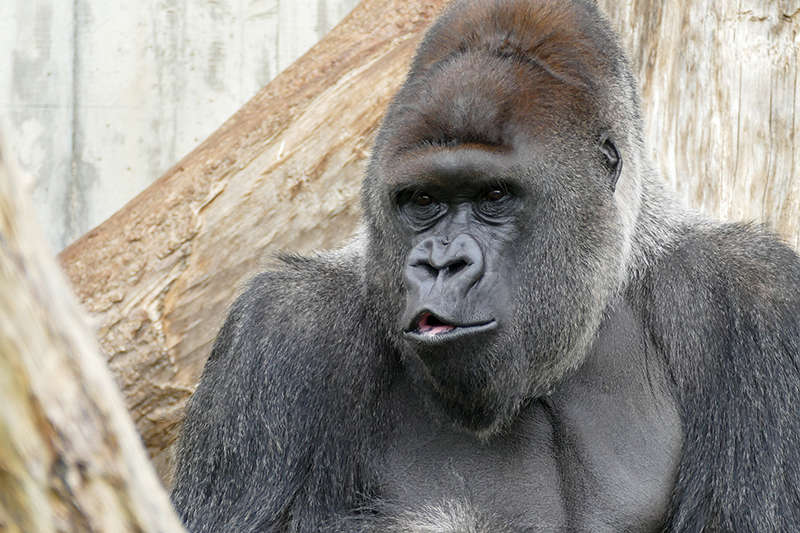 Für die Heidelberger Gorilla-Gruppe um Silberrücken Bobo soll eine neue Außenanlage gebaut werden. (Foto: Heidrun Knigge/Zoo Heidelberg)