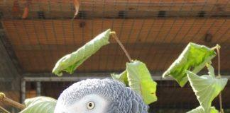 Ist im Zoo Landau gut aufgehoben, möchte aber trotzdem gerne nach Hause zurück: Der entflogene Graupapagei. (Quelle: Stadt Landau)