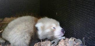 Nachwuchs bei den Roten Pandas: Wie alle jungen Roten Pandas schläft auch das Heidelberger Jungtier sehr viel. (Foto: Petra Medan/Zoo Heidelberg)