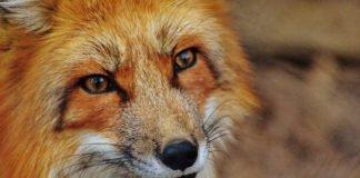 Symbolbild Fuchs (Foto: Pixabay)